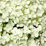 H. arborescens Annabelle_1003
