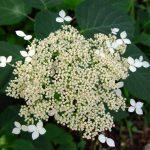 H. arborescens ssp.discolor_1145