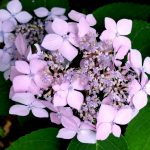 H. macrophylla Liliacina_1123