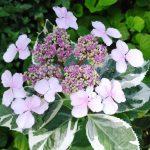 H. macrophylla Tricolor_1055